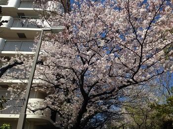 02_桜満開.jpg